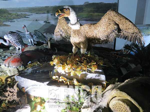 Cinereous Vulture(AA-613)