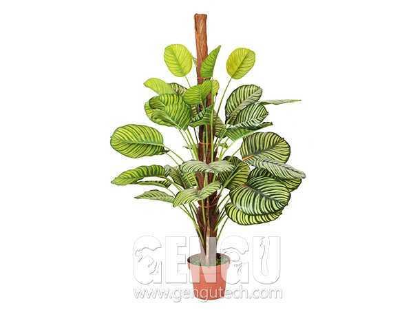 Calathea orbifolia(AP-888)