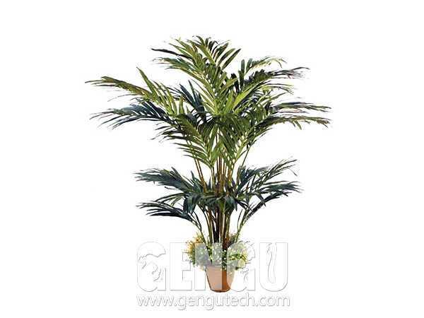 槟榔树Areca