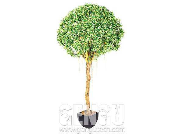 带须榕树Banyan