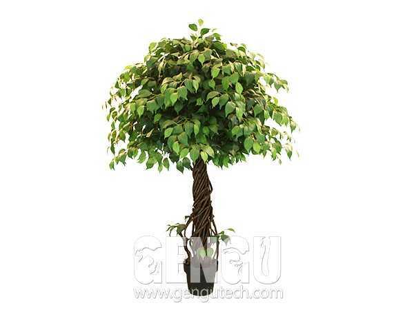 单杆榕树Banyan
