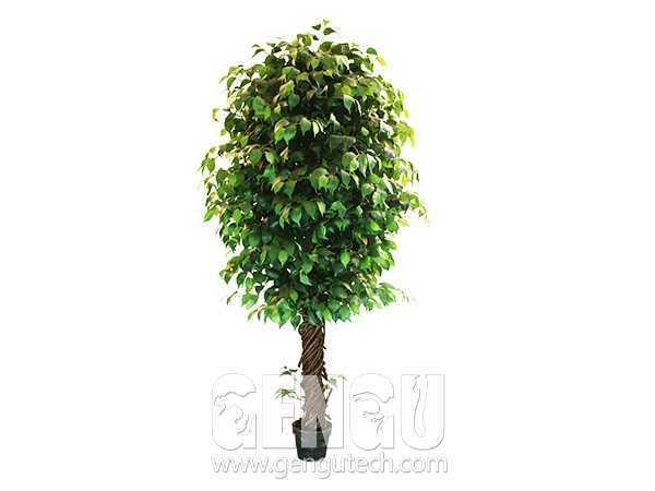 榕树Banyan