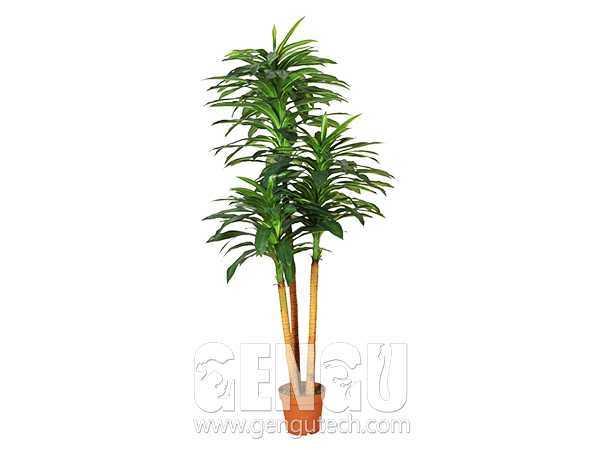 Draceana arborea(AP-919)