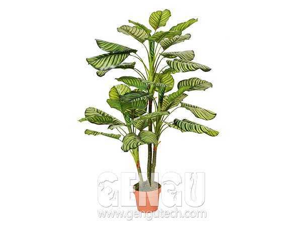 Calathea orbifolia(AP-922)