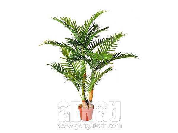 Chrysalidocarpus lutescens(AP-925)